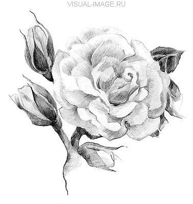 Flower rose sketch