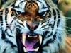 big_2536_oboi_past_tigra