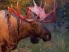 moose-shedding-velvet-tim-grams